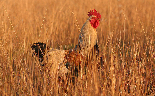 640px-Rooster04_adjusted
